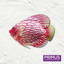 Primus Fish Wall Art - Discus Fish Handcrafted Wall Art.
